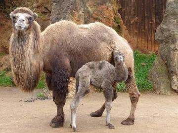 Nace un camello bactriano en Cabárceno