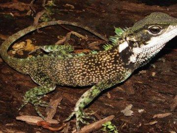 Descubren tres nuevas especies de lagarto con 'forma de dragón'