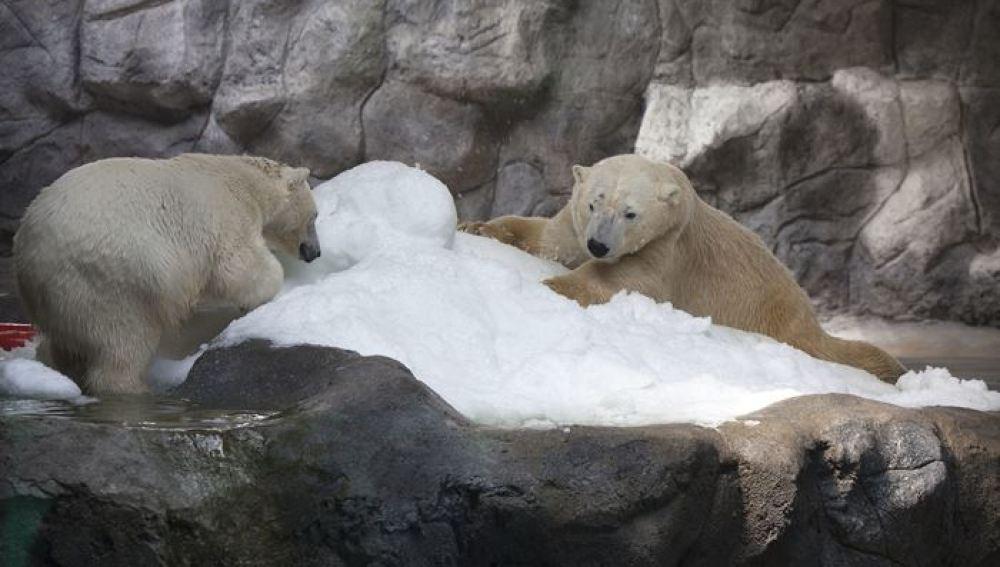 Dos osos polares llegan por primera vez a Brasil