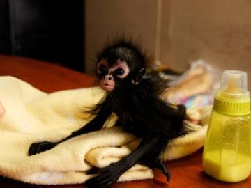 Comerciantes ilegales dejan huérfana a una cría de mono araña