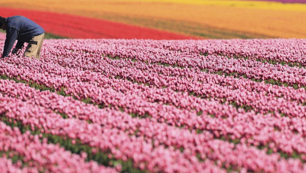 Cultivando tulipanes (29-04-2015)