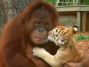 Un orangután cuida a tres tigres en un safari de EEUU