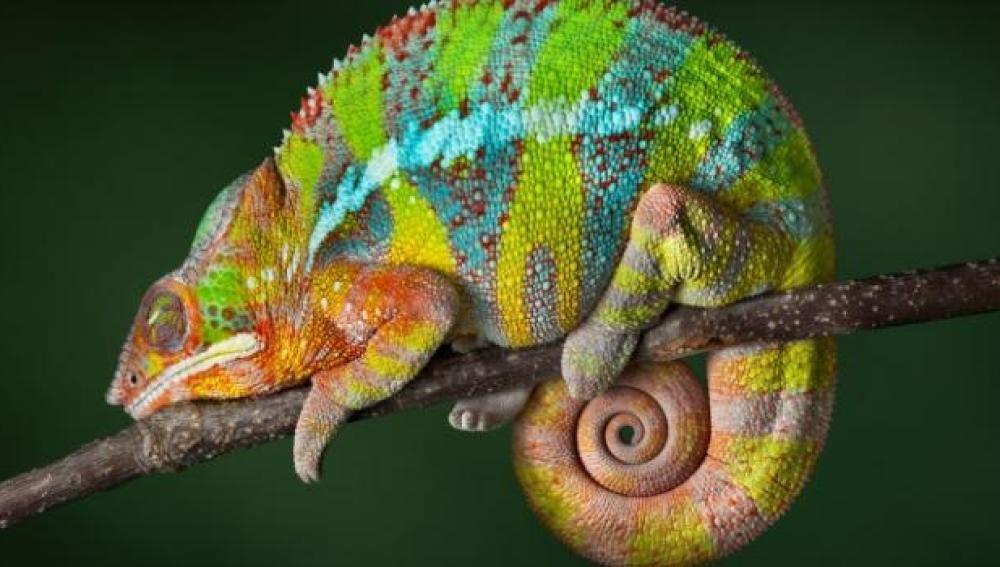 Conocemos a un singular camaleón pantera de Madagascar