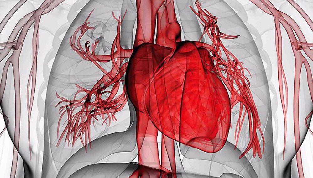 El músculo cardiaco se regenera durante toda la vida