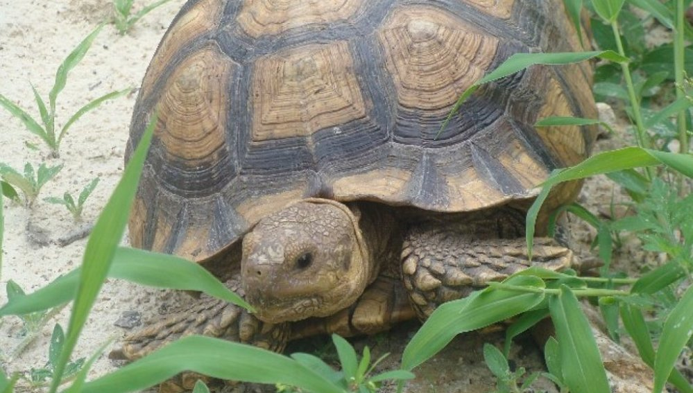 Preservar la tortuga mor, una tarea cada vez más complicada