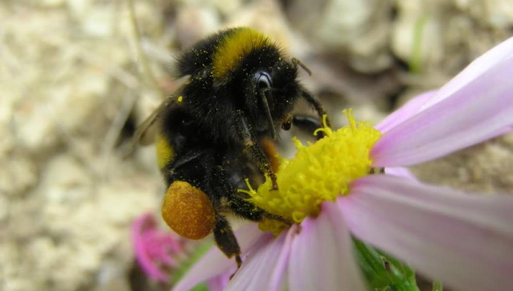 Los abejorros, en peligro de extinción