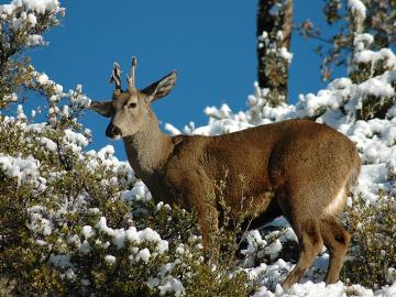 Huemul, una especie de ciervo en peligro de extinción