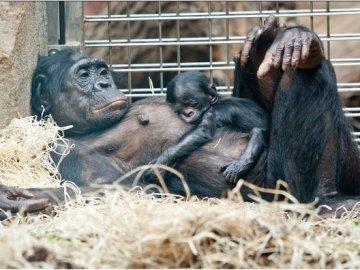 Una cría de bonobo emociona a los visitantes de un zoo Frankfurt