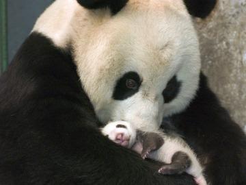 Osos panda gigantes