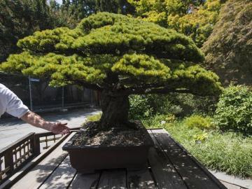Bonsái de 390 años que sobrevivió a Hiroshima