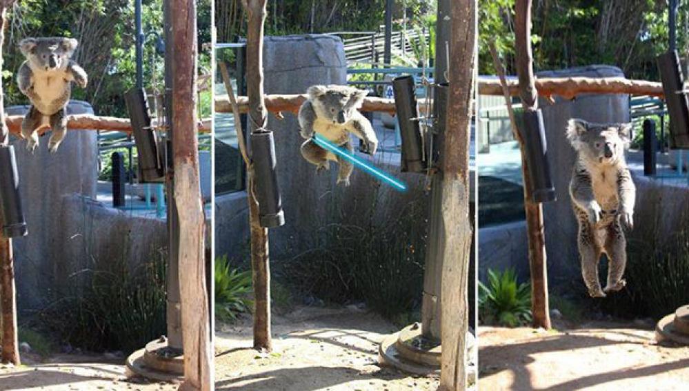 Un koala del zoo de San Francisco, caracterizado como un jedi