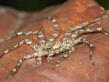 Araña planeadora