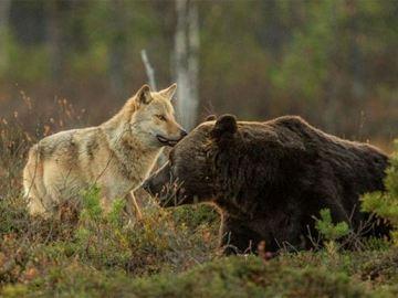 Conoce la amistad entre una loba y un oso pardo