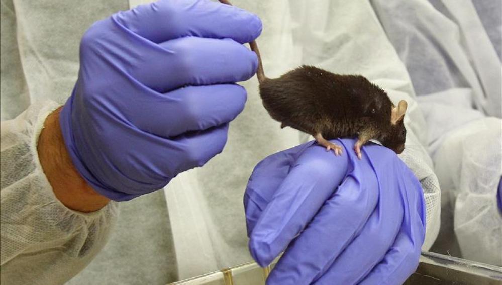 Descubren que ratones y plantas comparten el mismo patrón de división celular