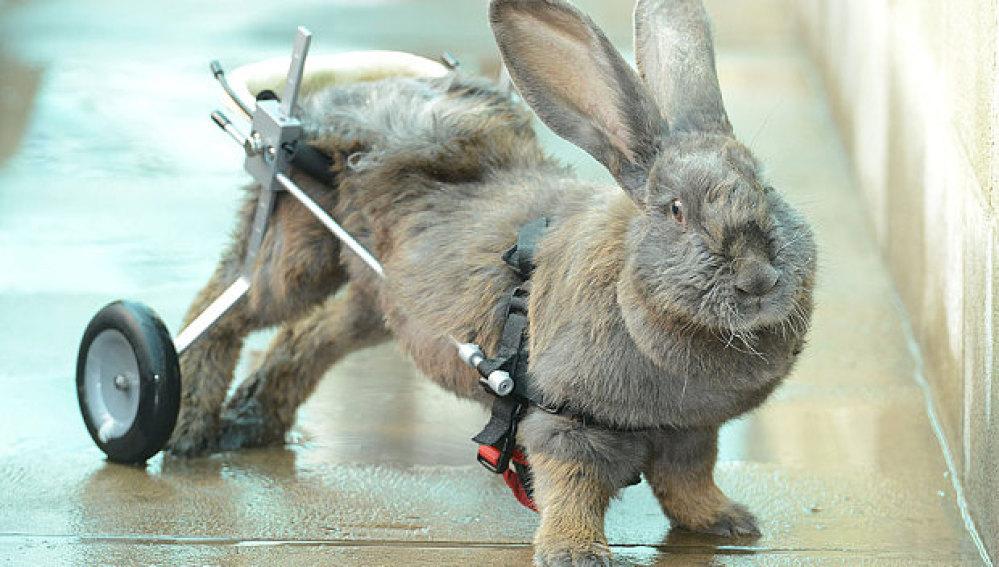 Bertha, la coneja paralítica que camina gracias a una silla de ruedas