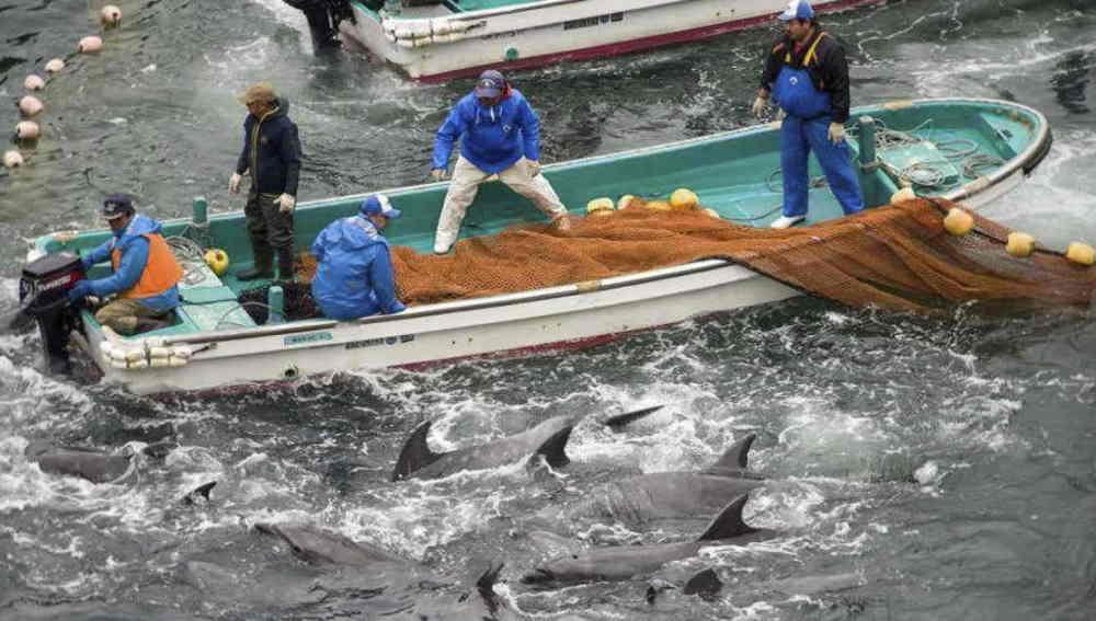 Caza de delfines