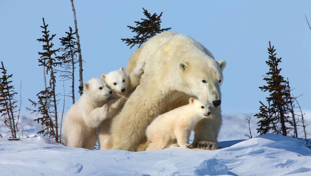 Los osos polares podrían subisistir en tierra firme