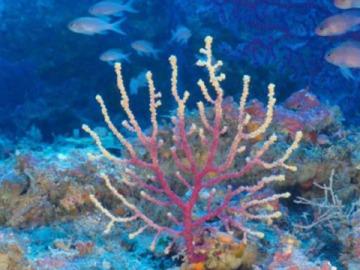 Descubren bosques de coral negro en el canal de Mallorca