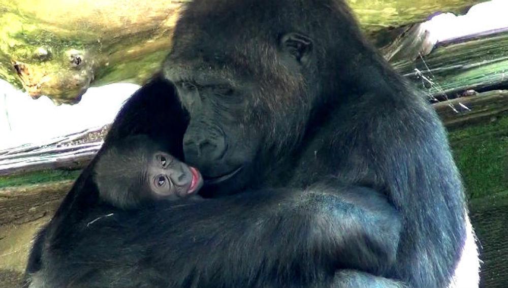 929ef4467d86 Nace una nueva cría de gorila en el Zoo de Barcelona