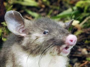 'Rata nariz de cerdo'
