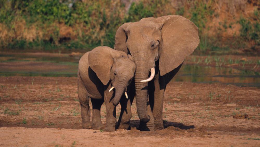 Elefantes en Zimbabue