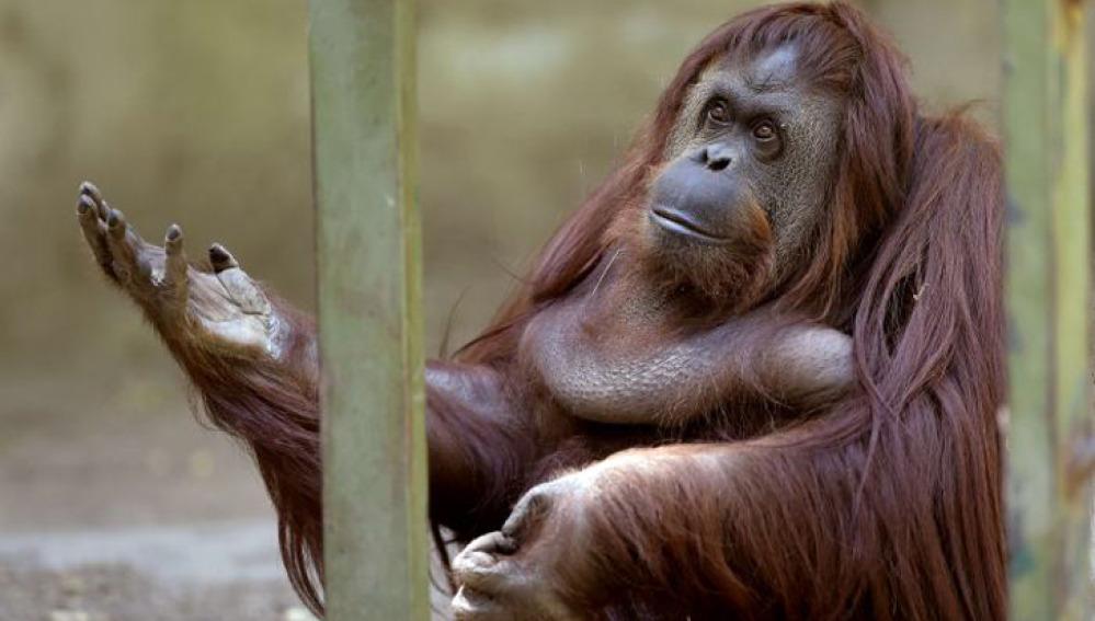 Un orangután ve reconocidos sus derechos como 'persona no humana'