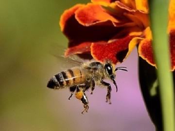 Utilizan veneno de abeja para llevar fármacos del cerebro