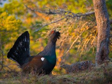 SEO/BirdLife y WWF reclaman medidas para evitar la desaparición del urogallo