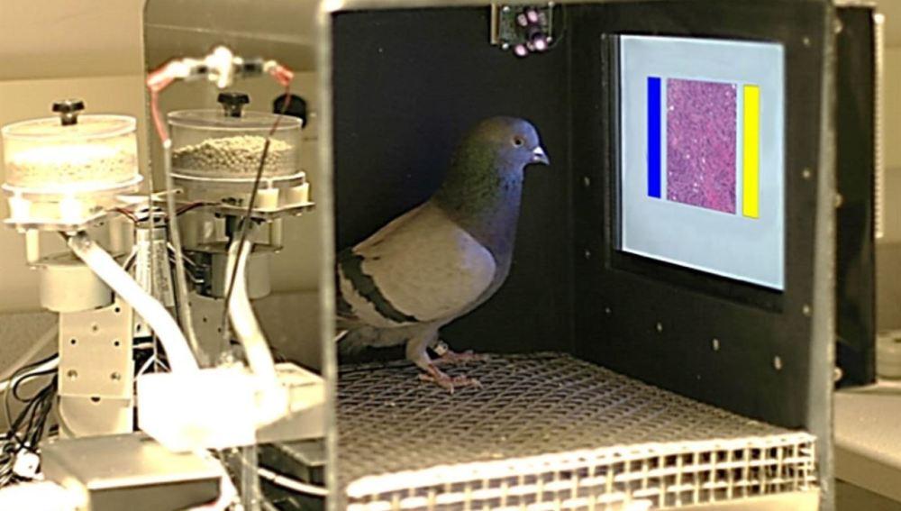 Las palomas podrían tener la capacidad para distinguir tejido mamario canceroso
