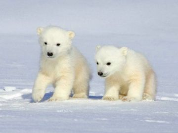La supervivencia del oso polar en peligro por el cambio climático
