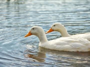 Dos patos nadan en un lago en una imagen de archivo