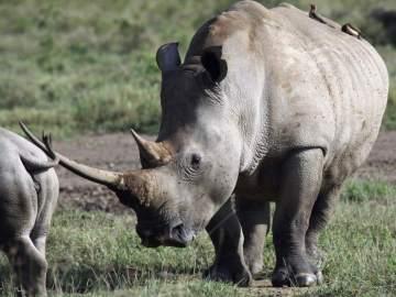 Muere un rinoceronte blanco, único ejemplar fuera de África, en un zoo de EEUU