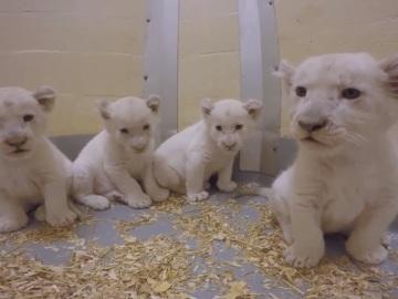 Cachorros de león blanco del zoo de Toronto