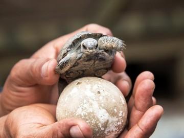 Nacen tortugas en las islas Galápagos después de 100 años