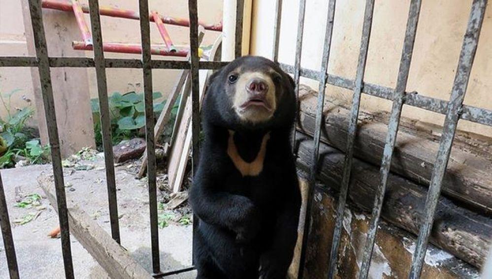 Campañas de concienciación alertan del comercio con las bilis de osos en las granjas de Vietnam