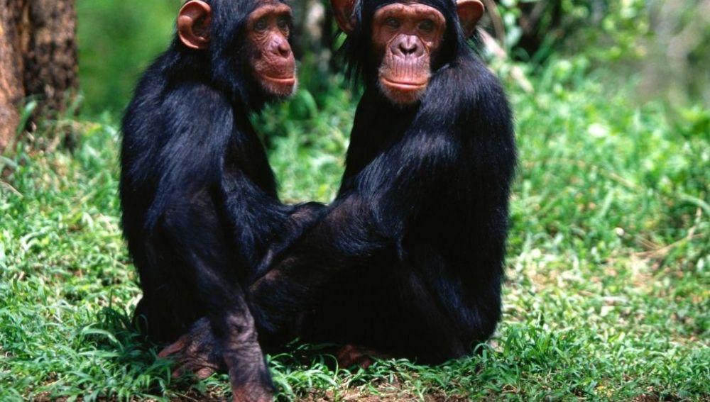Amistad entre chimpancés