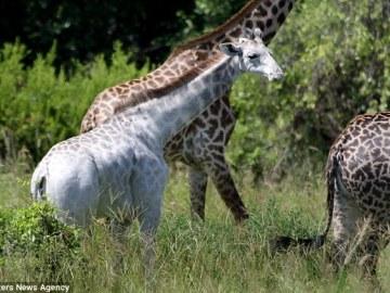 Omo, la jirafa blanca con el resto de la manada