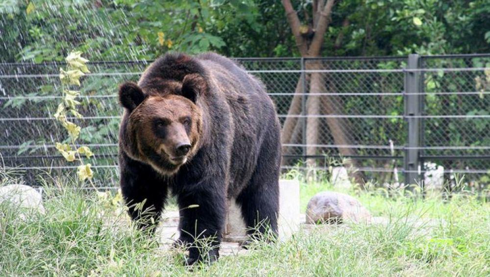 Un oso es liberado tras llevar un chaleco de tortura para extraer su bilis
