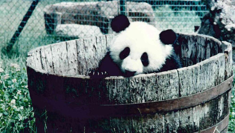 El oso panda Chu-Lin vivirá para siempre en el Museo Nacional de Ciencias Naturales de Madrid