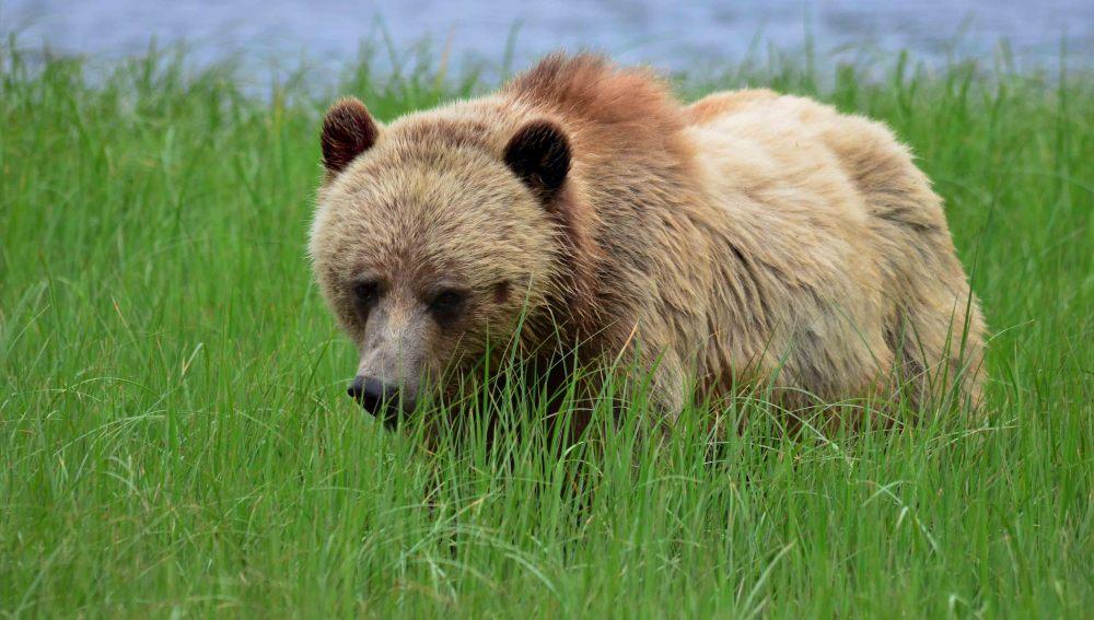 El Bosque del Gran Oso de Canadá será un espacio protegido