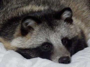 Tanu, un curioso perro mapache