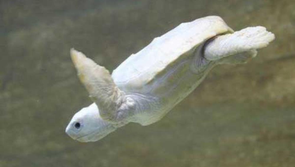 Nace una tortuga albina en una playa de Australia