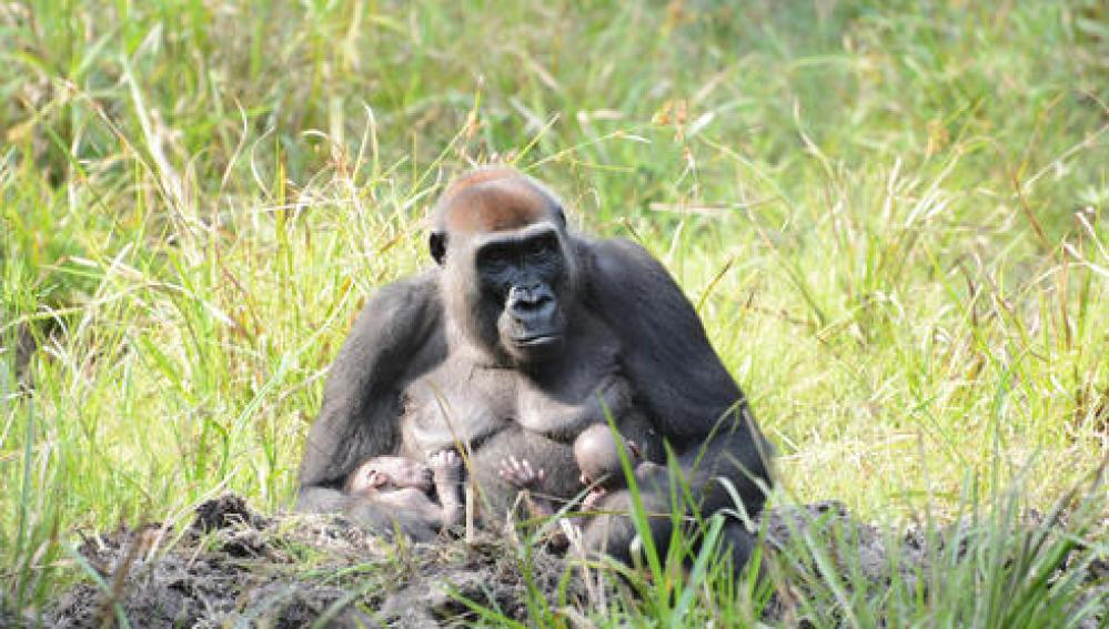 Los gorilas gemelos con su madre