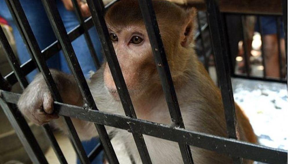 El mono será libre tras varios días enjaulado