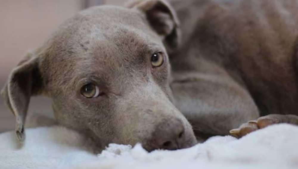 Graycie, una perra que perdió la confianza en las personas tras ser maltratada