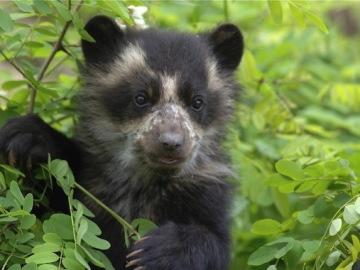 Los Parques Naturales Nacionales de Colombia promueven una campaña para proteger a los osos