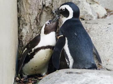 El pingüino africano, un animal en peligro de extinción