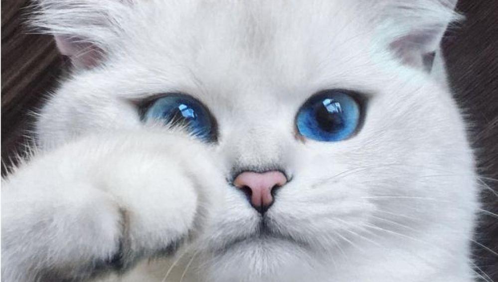Coby, un precioso gato de ojos azules