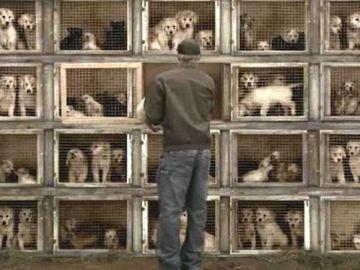Una nueva ley podría investigar a los criaderos de perros