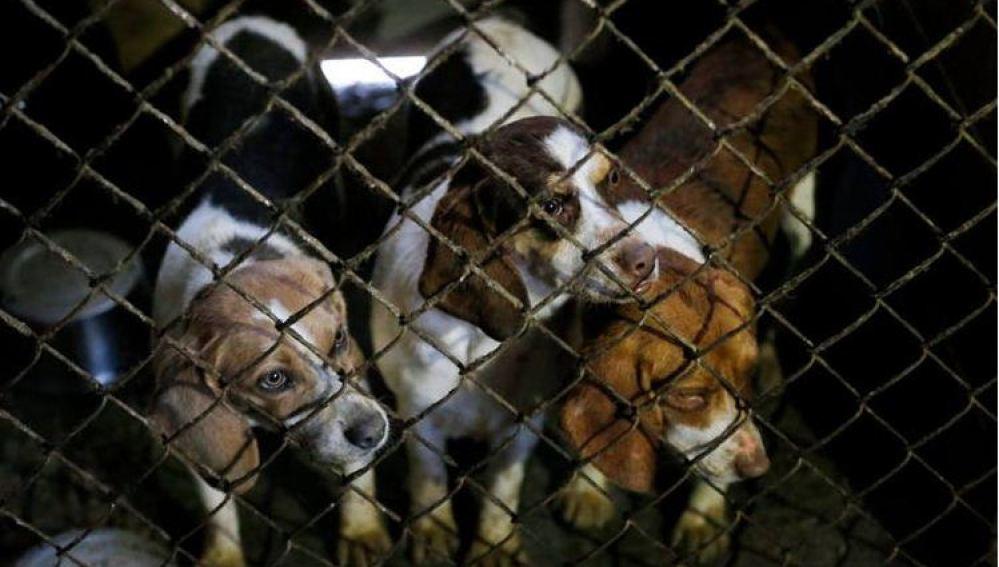 300 perros rescatados de un criadero